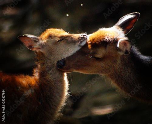 Fototapeta  amour animal