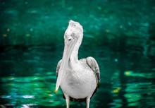 Pelican Perching On Pole