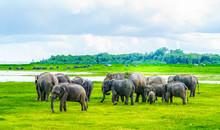 Herd Of Elephants In Kaudulla ...