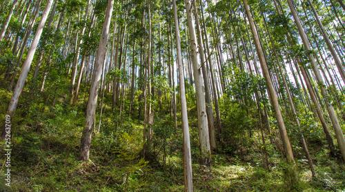 Plantação de eucaliptos para extração de madeira