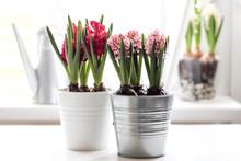 Spring Flowers Hyacinths In Pots
