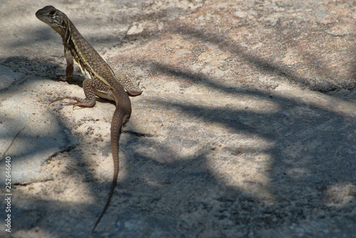 Photo  Butterfly Agama