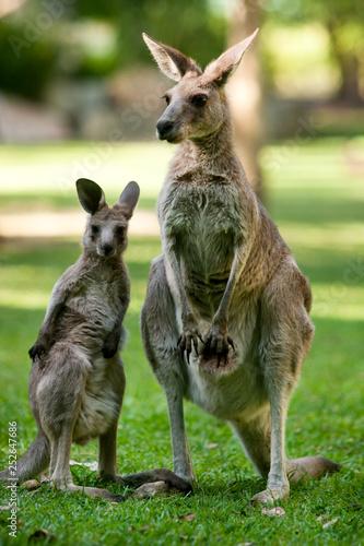 Autocollant pour porte Kangaroo kangaroos: joey with mum