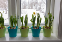 Colorful Flowerpots Of Dwarf Daffodils, Narcissus, In A Window Post With Snow Outside. Spring.