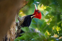 Pale-billed Woodpecker - Campe...