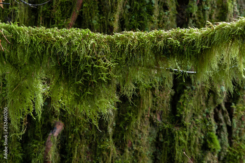 Got Mecury? - Moss hangs from  a tree branch in the forest understory of the Pacific Northwest Canvas Print