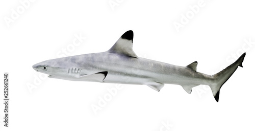 Photo Blacktip reef shark isolate on white background