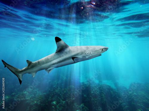 Valokuva  Blacktip reef shark swiming in blue sea with light rays underwater