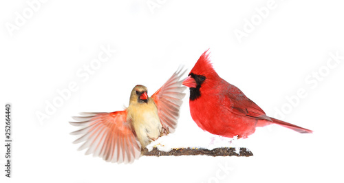 Photo  Male and Female Red Northern Cardinals