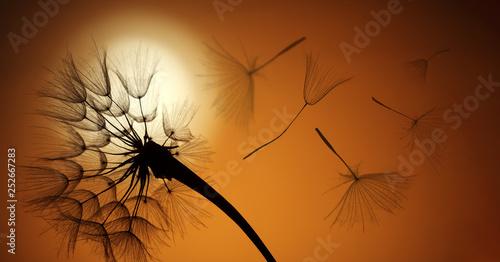 Obraz na plátně  flying dandelion seeds on a sunset background