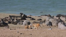 Black Backed Jackal Hunting For Cape Fur Seal Pups At Cape Cross Seal Colony, Namibia