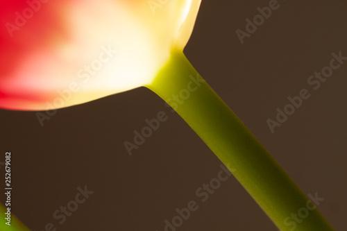 Fotografia  Łodyga tulipana czerwonego z fragmentem kwiatu