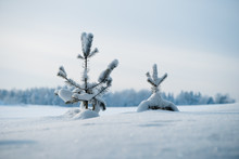 Two Small Snow Covered Pines In The Field