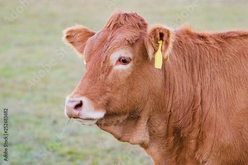 Fotografia Cow close up - Limousin breed