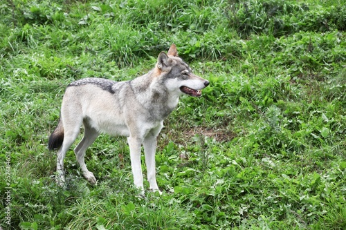 Foto op Aluminium Wolf Wolf in the nature