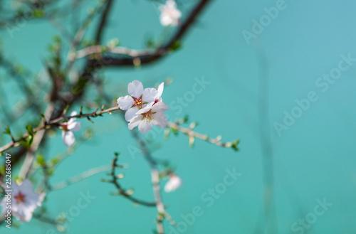 Fotografia Blossoming almond tree