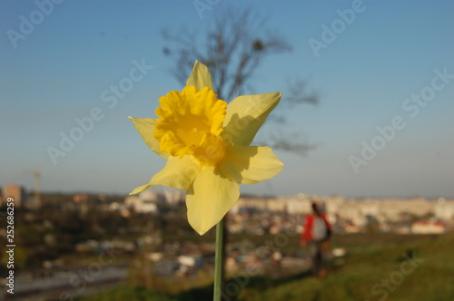 Garden Poster Narcissus narcis spring