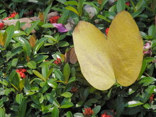 Yellow Butterfly Shape Leaf Of...
