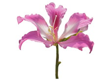 Beautiful Phanera Purpurea Or ...