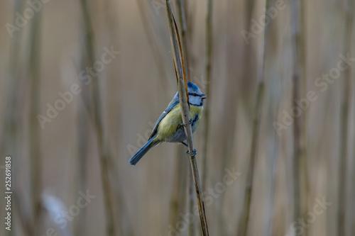 Foto Euroasian blue tit on a reed