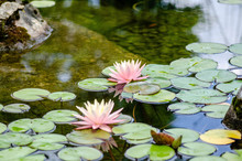 Lily Pad Flower 4