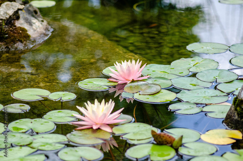 Valokuva Lily Pad Flower 4