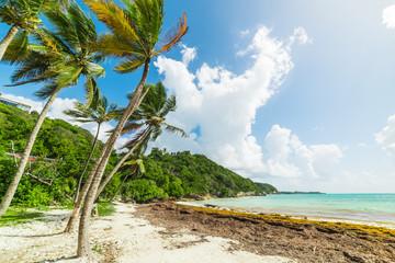 Palmy kokosowe w Les Salines plaży na wyspie Gwadelupa