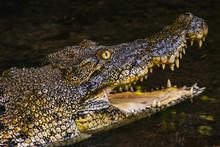 BORNEO / SARAWAK / MALAYSIA / JUNE 2014: Crocodile In The Semenggoh Nature Reserve