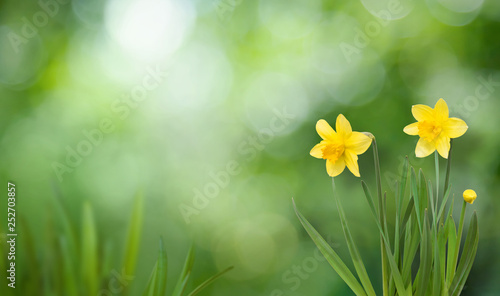 Valokuva Nature Spring Background with blooming daffodil flowers