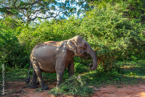 Asian Elephant among the trees in Yala National Park