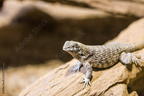 Photographie  The lizard (latin name Sauromalus obesus) on the rock