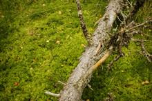 Fallen Tree In Forest Lying On...