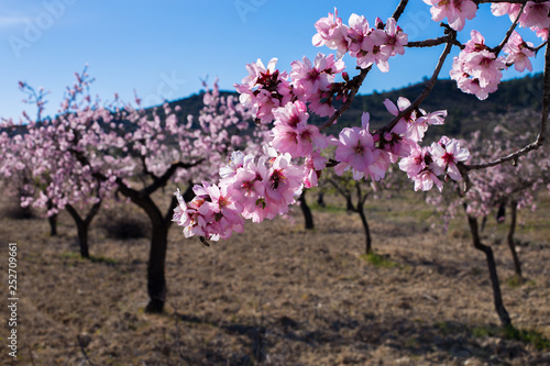 Photo  A field of blossoming almond trees. Shallow depth of field.