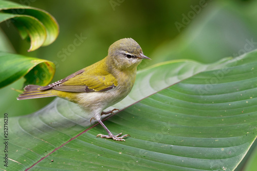 Tennessee Warbler - Leiothlypis peregrina New World warbler that breeds in easte Canvas Print