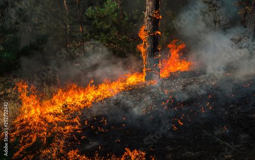 Valokuva  wildfire, burning pine forest .