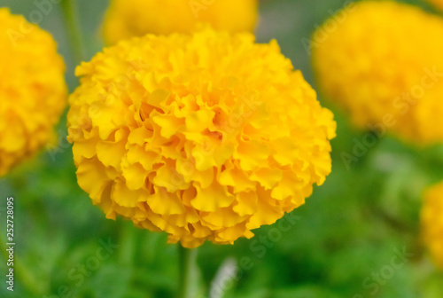 Fotografía  Yellow marigold flowers blooming with others as background