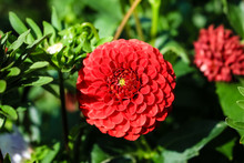 Red Dahlia Flower Growing In The Garden
