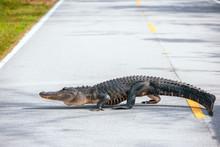 American Alligator Crossing A ...