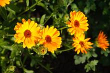 Calendula Officinalis Or Pot Marigold Orange Flowers
