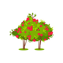 Two Bushes With Cute Bright Pink Roses. Beautiful Flowering Plant. Garden Flowers. Summer Season. Flat Vector Icon