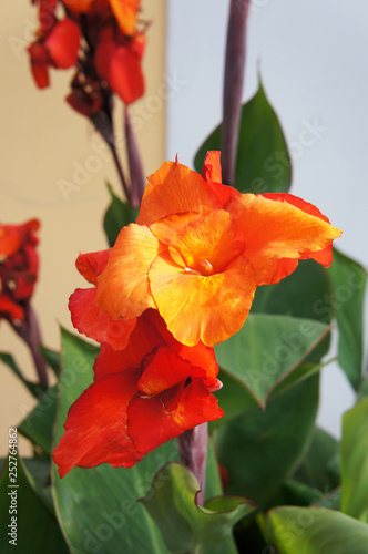 Canna indica or indian shot or african arrowroot red flowers Canvas Print