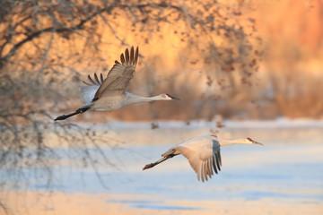 Sandhill Crane, Bosque del Apache Wildlife Reserve New Mexico USA