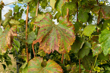 Diseased Affected Leaf Of Grapes Close-up Macro. The Concept Of Protecting Plantings Of Grapes From Fungal Diseases