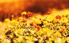 Nature Yellow Flower Field Blur Background / Yellow Plant Calendula Or Marigold Autumn