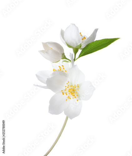 Photographie Branch of  Jasmine's (Philadelphus) flowers isolated on white background