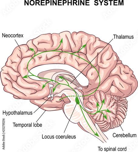Fotografie, Obraz  Norepinephrine system