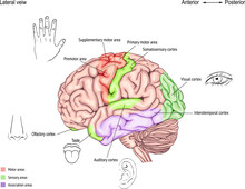Anatomy Of The Human Brain. Areas Of The Cerebral Cortex. Anatomy Of The Central Nervous System. The Location Of The Convolutions.
