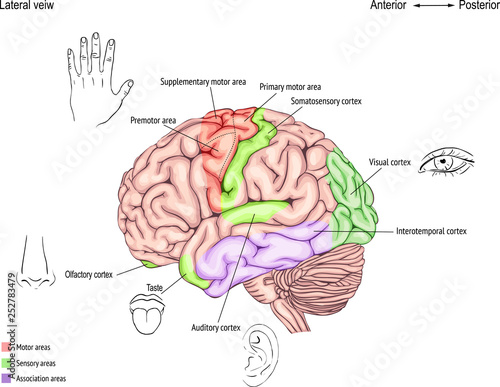 Leinwand Poster  anatomy of the human brain