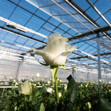 White Roses In Glass Greenhouse Under Blue Sky In Holland