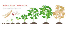 Bean Plant Growth Stages Infog...